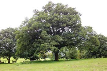 Photograph of a spreading oak tree growing in the open