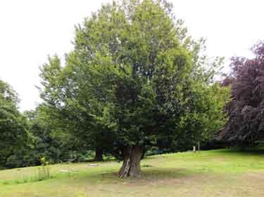 Photograph of an old hornbeam tree.