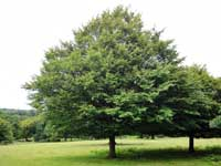 Photograph of hornbeam tree in a park.